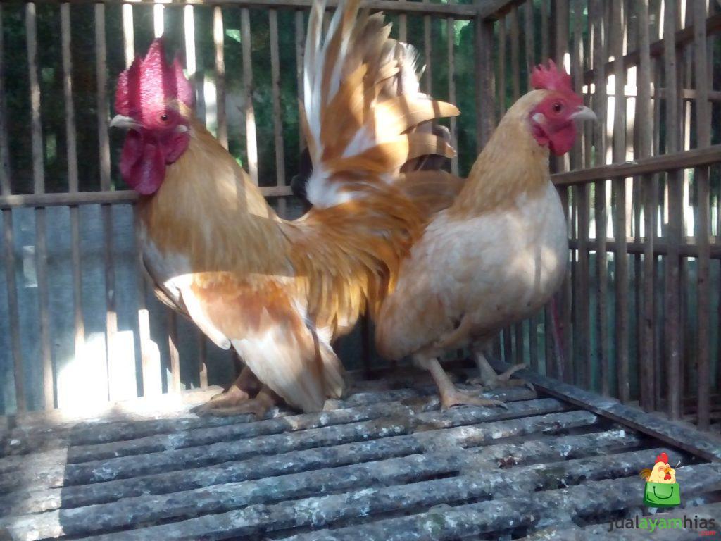 2 Metode Dasar Dalam Memelihara Ayam Kate di Sekitar Rumah