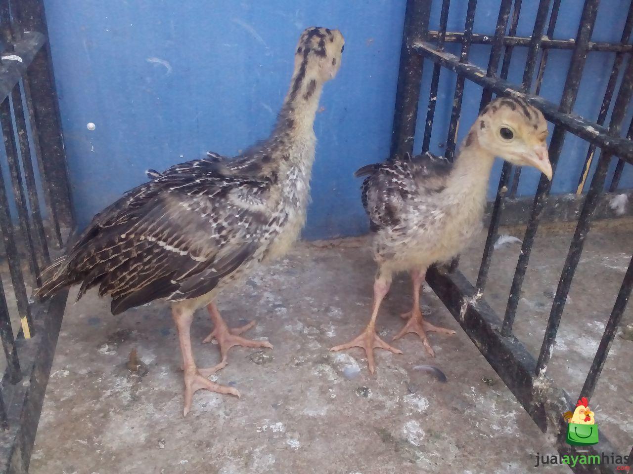 Ayam Kalkun Bronze Sepasang Umur 1 Bulan Pesanan Bapak Agung di Bogor