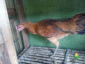 Ayam Pelung Betina Umur 5 Bulan