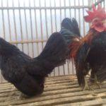 Ayam Serama Indukan Sepasang