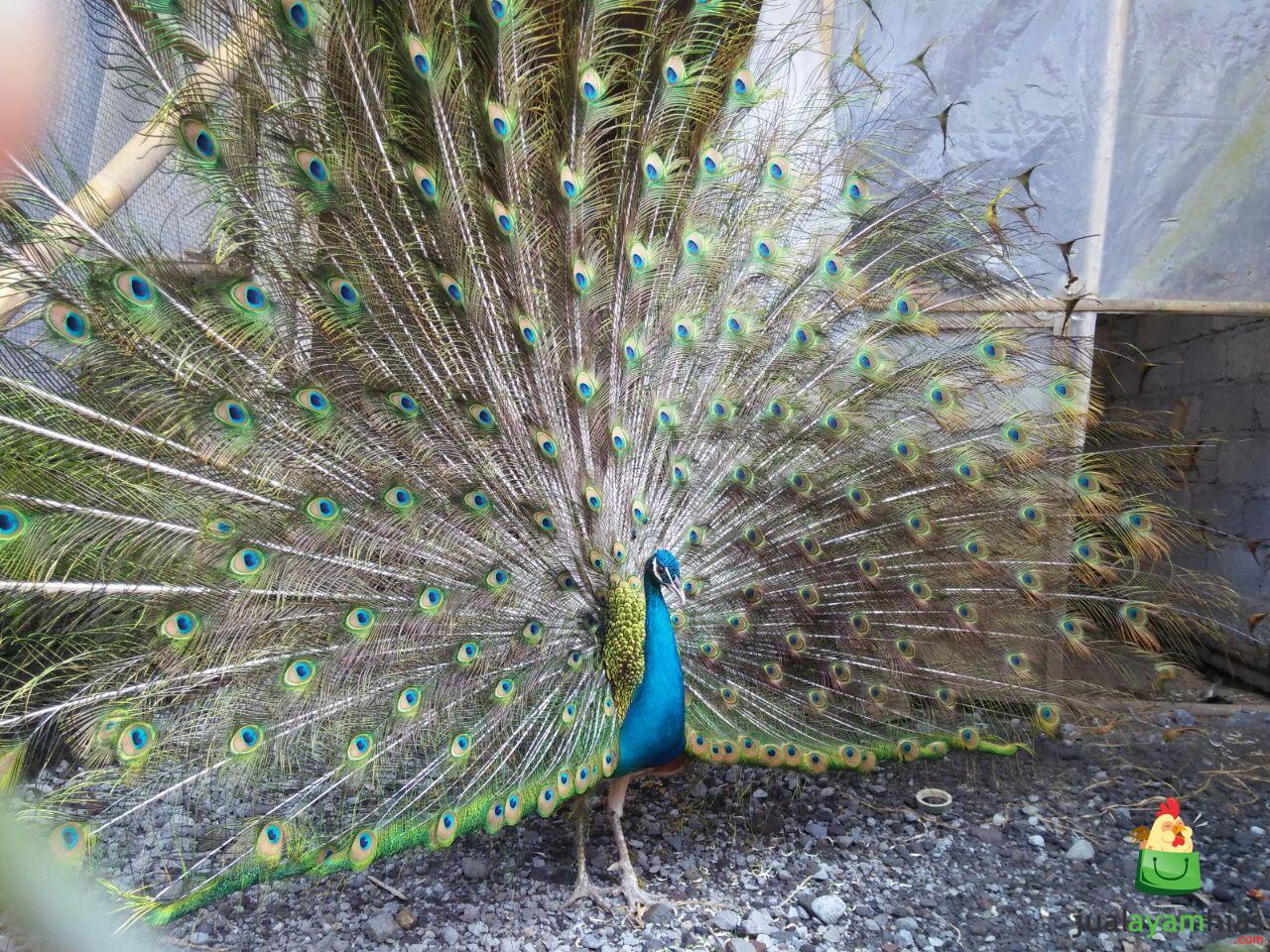 Unduh 62+  Gambar Burung Merak Tercantik  Paling Unik Free