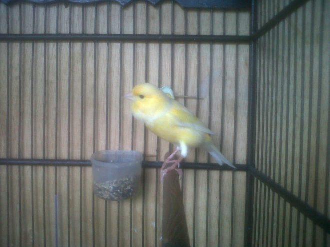 Kenari, Burung Kenari, Jenis Kenari, Kicau Kenari, Ternak Kenari, Suara Kenari, Jual Burung Kenari, Harga Burung Kenari