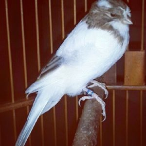 Burung kenari, suara kenari, kicau kenari, kenari, kegagalan dalam ternak kenari, cara beternak kenari lokal