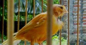 Burung kenari, mengatasi kebotakan pada kenari jantan, cara menumbuhkan bulu kenari, obat alami kenari botak, Kenari, Burung Kenari, Ternak Kenari, Jenis Kenari, Suara Kenari, Kicau Kenari, Jual Burung Kenari, Harga Burung Kenari