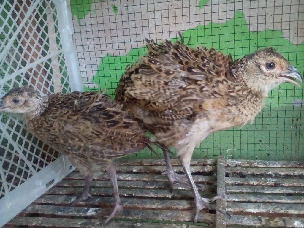 Ringneck Pheasant Usia 2 Bulan Sepasang Pesanan Bapak Tarno di Bekasi