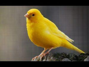 Tips Mudah Beternak Burung Kenari dengan Sistem Koloni