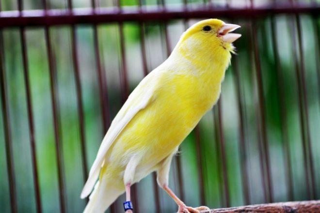 4 Faktor yang Perlu di Perhatikan Agar Burung Kenari Bisa Berkicau Lama