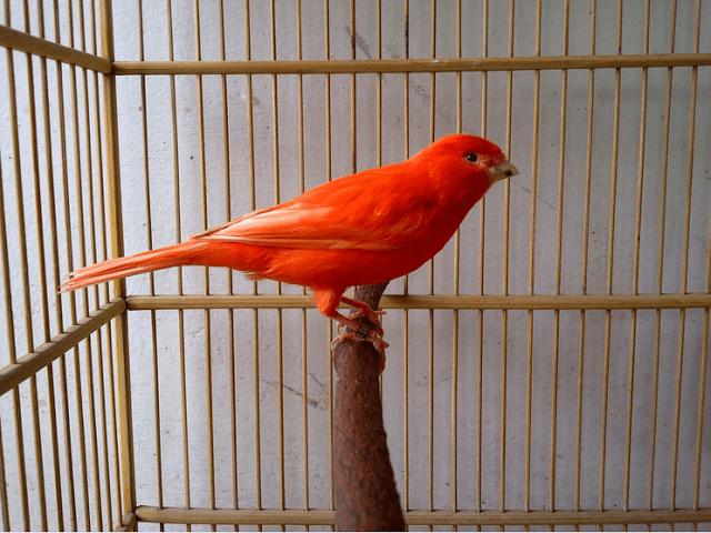 kenari merah 1 1 Ternak Burung Kenari Merah Jual Ayam Hias HP : 08564 77 23 888 | BERKUALITAS DAN TERPERCAYA Ternak Burung Kenari Merah Ternak Burung Kenari Merah