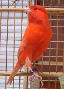 Burung kenari, jenis kenari merah, peternak kenari merah, penangkar kenari merah, cara ternak kenari