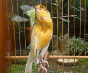 Burung kenari, ternak kenari, jual kenari, cara menghilangkan sisik pada kaki secara alami, kacer tua kurang gacor, ciri kacer sudah tua