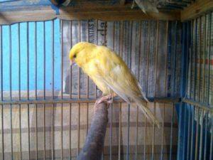 Burung Kenari Cacingan