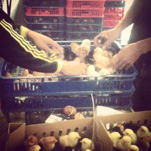 DOC Ayam Jawa Super/ Joper