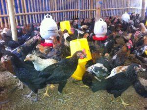 Ayam jawa super, DOC ayam jawa super, jual DOC ayam jawa super, harga DOC ayam jawa super, bahaya kotoran unggas, dampak limbah peternakan terhadap lingkungan, Jual DOC Joper, Jual DOC Ayam Jawa Super, Harga DOC Joper, Jual DOC Joper, Harga DOC Joper