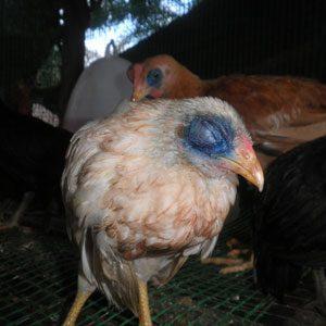 Mengenal Avian Influenza (AI) atau Flu Burung yang Menyerang