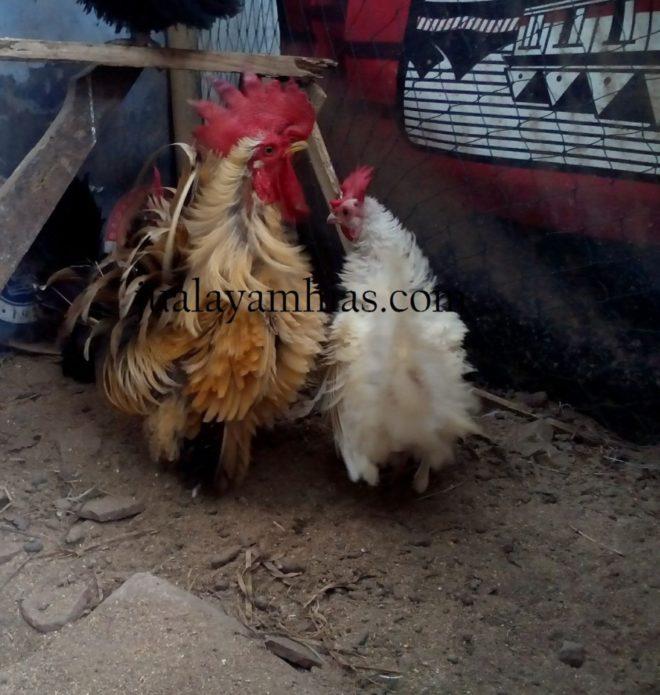 Foto Ayam Kate Walik Terbaru