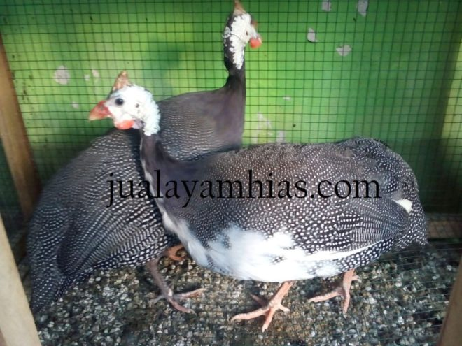 Foto Ayam Mutiara Plangkok Terbaru