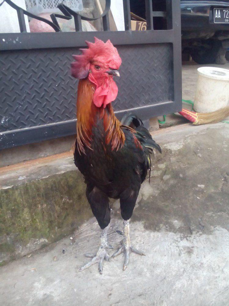 Ayam Pelung Usia Dewasa Jantan