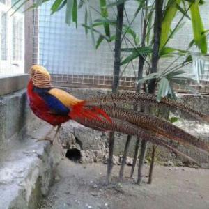 Ayam Kalkun Golden Palm Indukan Pesanan Bapak Agus di Tasikmalaya