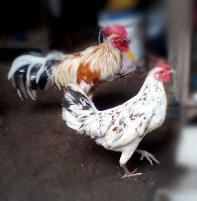 Ayam Ketawa Dewasa Sepasang