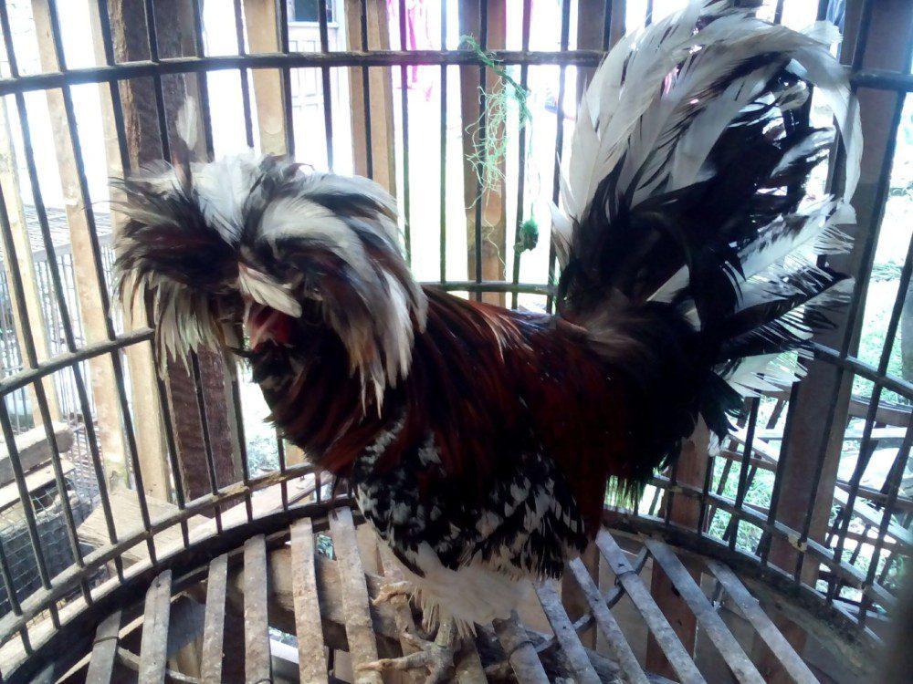 Contoh Kandang Ayam Poland