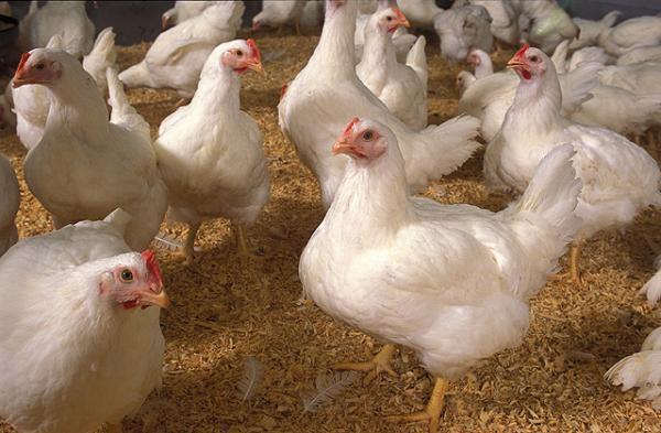 Ayam pedaging yang saat ini banyak di jual di pasaran yaitu jenis ayam broiler