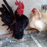 Mengenal Tipe-tipe Ayam Serama yang Bertubuh Mini