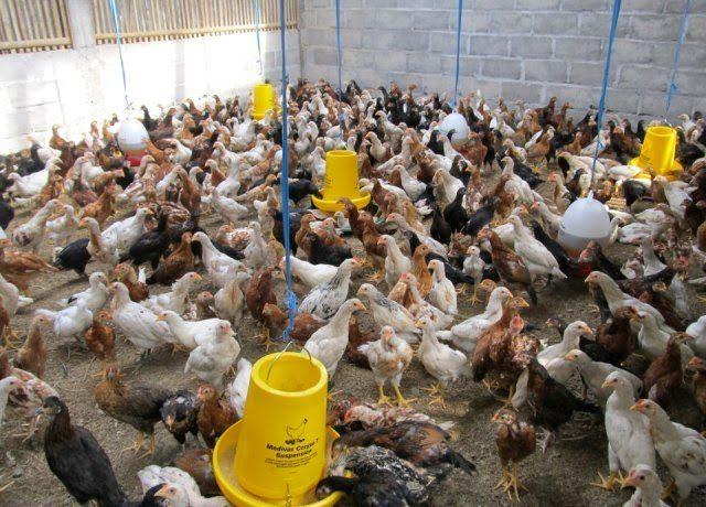 Pmeliharaan ayam kampung super juga dapat dilakukan dengan menggunakan lahan ang tidak terlalu luas