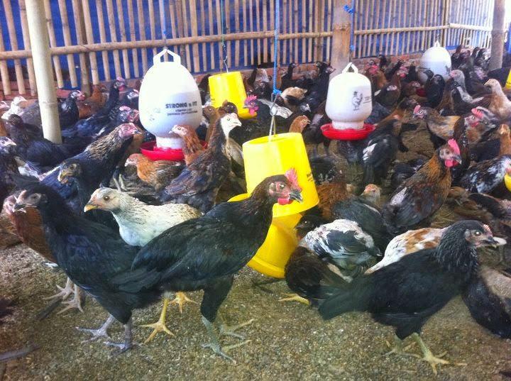 Ayam kampung super masa panennya cukup cepat yaitu sekitar 60hari
