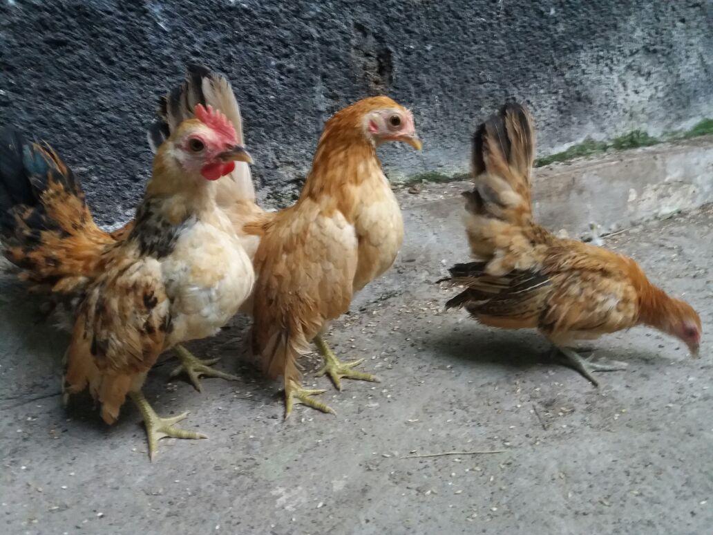 Ayam Serama Umur 3 Bulan Pesanan Bapak Sutikno di Jawa Timur