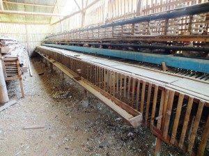 cara ternak ayam kampung