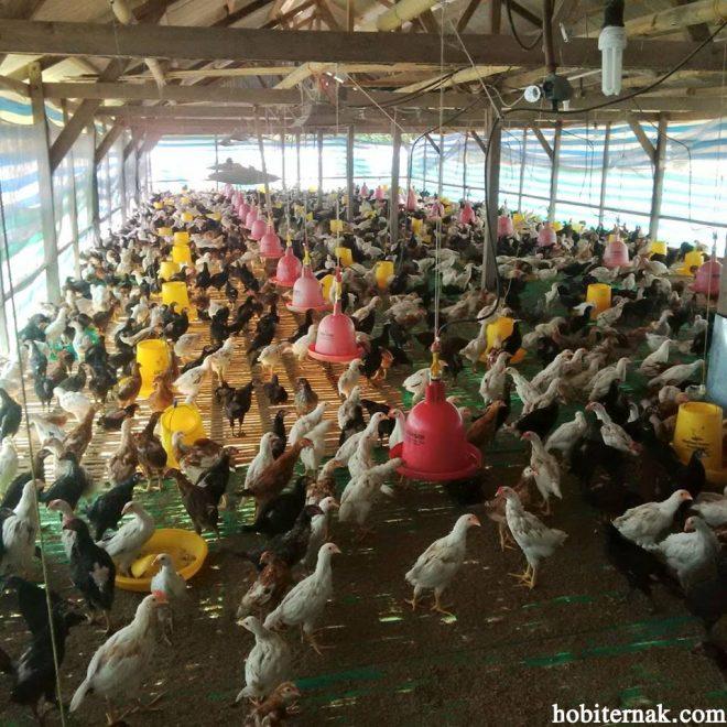 Kandang ayam bisa di katakan memegang peranan penting dalam beternak