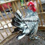 Panen Ayam Hias di Jualayamhias.com Bulan Ini