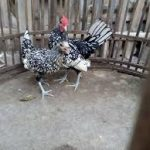 Ayam Batik Itali usia 5 bulan