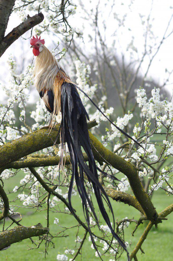 Ayam Onagadori. Ternak Ayam Onagadori Jual Ayam Hias HP : 08564 77 23 888 | BERKUALITAS DAN TERPERCAYA Ternak Ayam Onagadori Ternak Ayam Onagadori Si Ayam Berekor Panjang