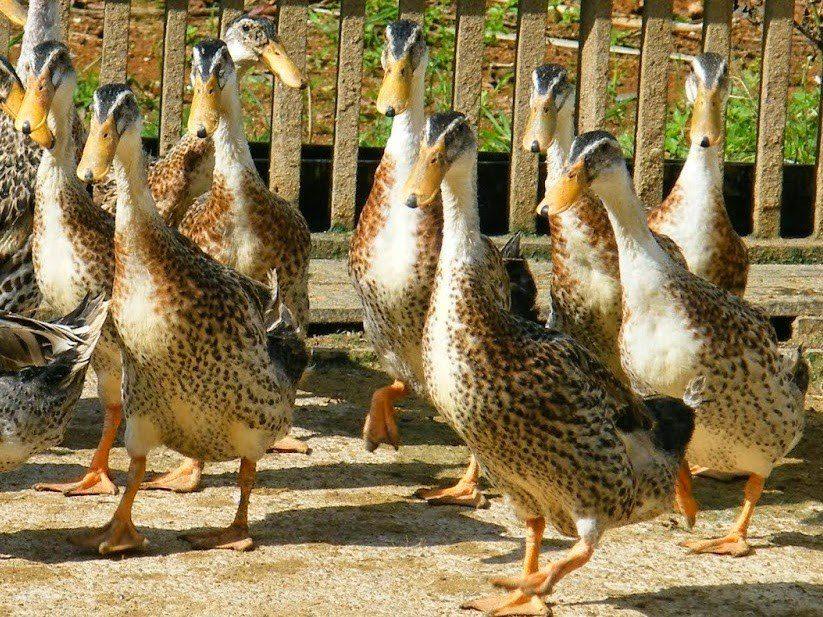 Bebek Alabio memiliki keunggulan yaitu produktivitas telurnya yang tinggi hingga mencapai 300 butir/ ekor/ tahun   Bebek Alabio