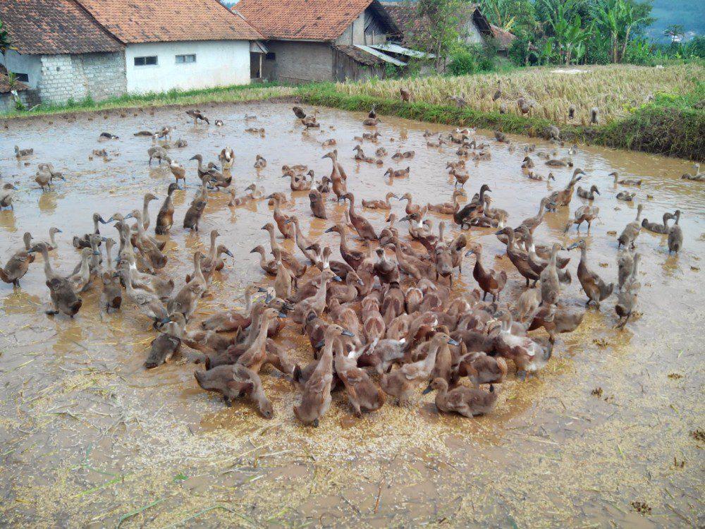 Bebek Karawang juga merupakan salah satu jenis bebek lokal yang berasal dari Pulau Jawa   Bebek Karawang