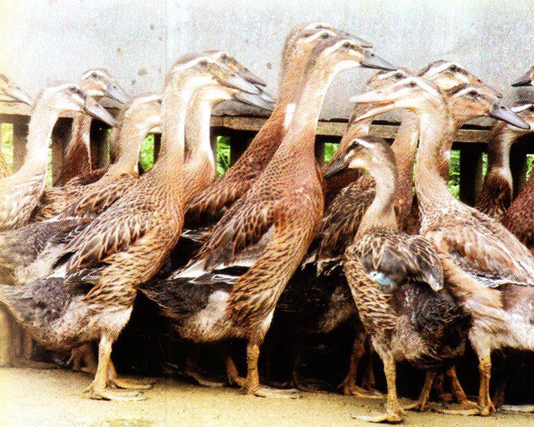 Produksi bebek ratu sekitar 260 butir/ ekor/ tahun, bentuk seragam dan tahan terhadap penyakit   Bebek Ratu