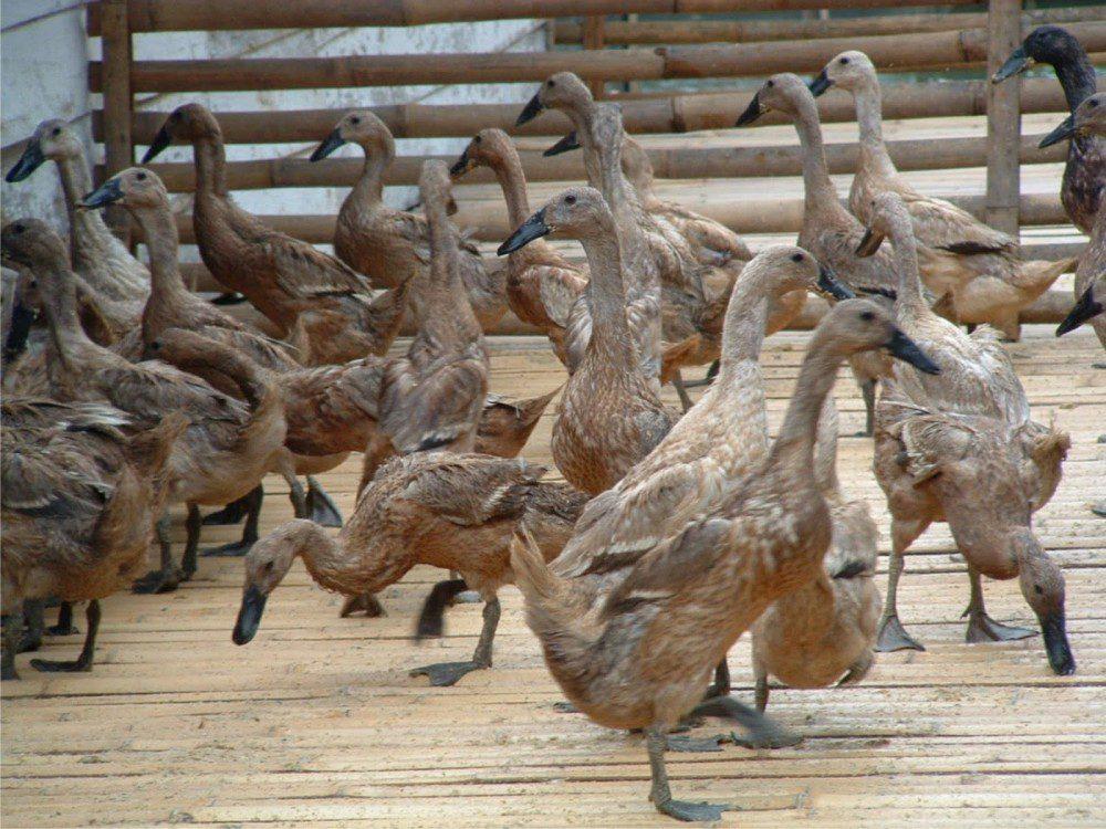 Bebek Tegal dapat bertelur hingga 250 butir per ekor dalam setahun   Bebek Tegal