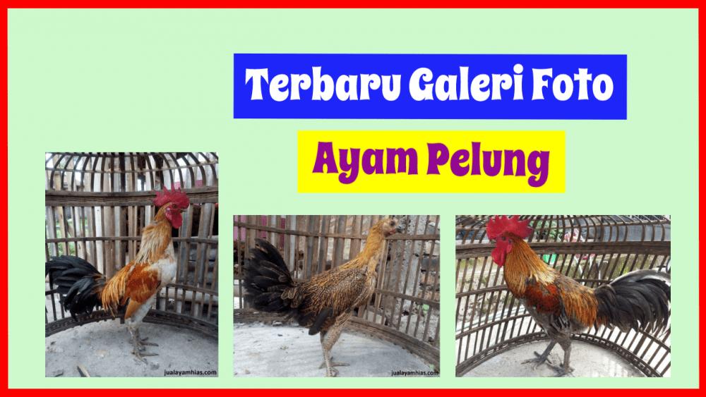 Galeri ayam pelung