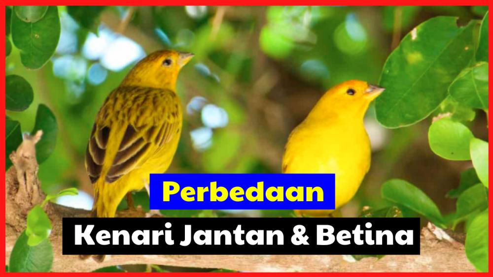 perbedaan kenari jantan dan betina Cara Membedakan Burung Kenari Jual Ayam Hias HP : 08564 77 23 888 | BERKUALITAS DAN TERPERCAYA Cara Membedakan Burung Kenari Cara Mudah Mengetahui Apakah Burung Kenari yang Anda Pelihara Jantan atau Betina