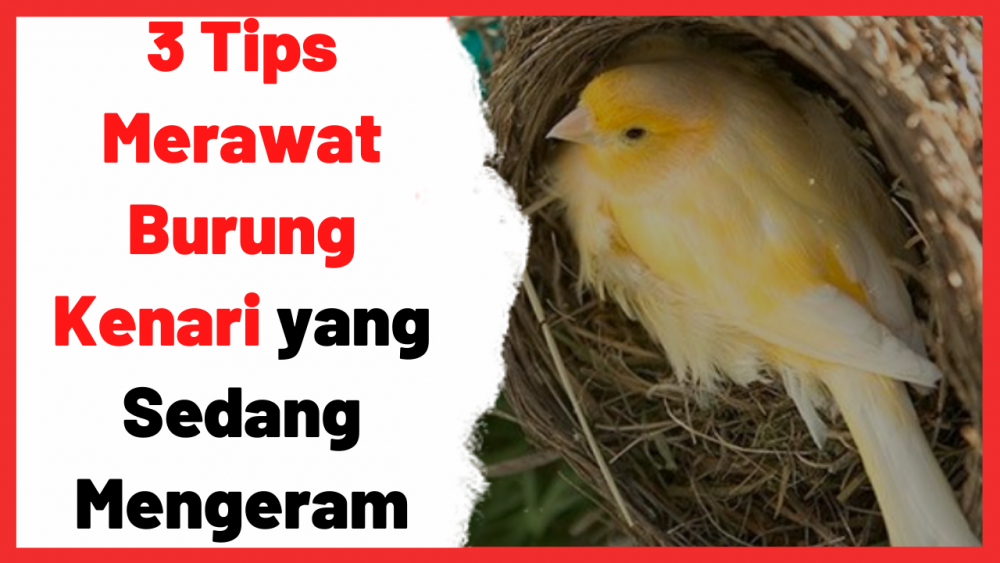 3 Tips Merawat Burung Kenari yang Sedang Mengeram | Cover