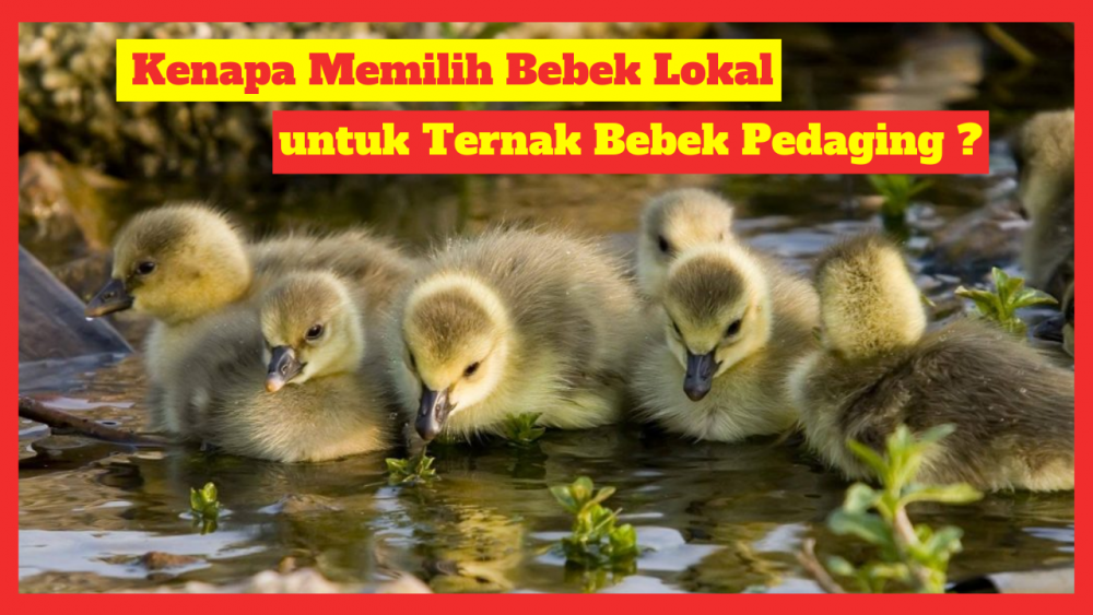 Kandang Ternak JOPER 2 Ternak Bebek Pedaging Jual Ayam Hias HP : 08564 77 23 888 | BERKUALITAS DAN TERPERCAYA Ternak Bebek Pedaging Kenapa Memilih Bebek Lokal untuk Ternak Bebek Pedaging?