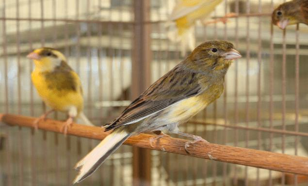 Agar menghasilkan suara burung kenari yang bagus, maka Anda sebagai peternak perlu memberikan jenis pakan yang memiliki gizi serta vitamin yang tinggi | Kenari di dalam sangkar