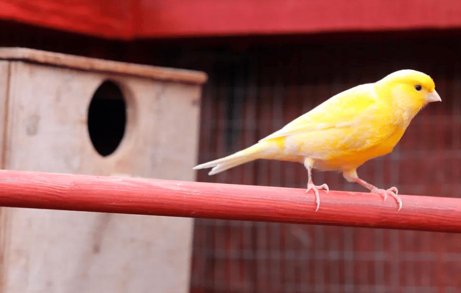 Pilihlah burung kenari yang ideal, seperti burung kenari tidak gemuk, memiliki leher yang panjang, bentuk kaki serta ekornya yang indah. | Kenari bertengger