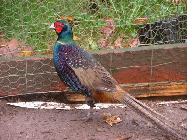 green ringneck pheasant