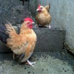 Ayam Kate