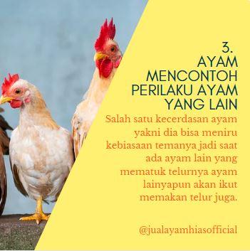3. Ayam Mencontoh Perilaku Ayam yang lain