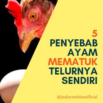 5 Hal Penyebab Indukan Ayam Mematuk Telurnya Sendiri