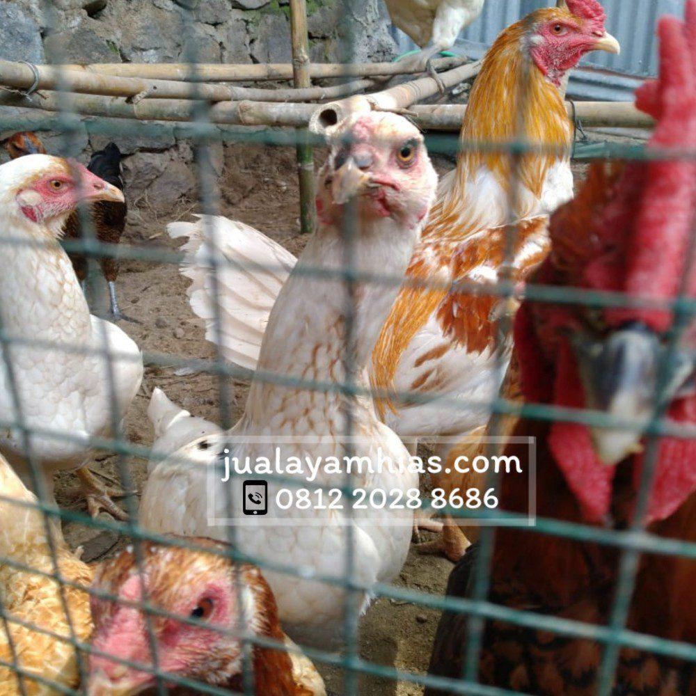 Kondisi Kandang Ayam Joper aa