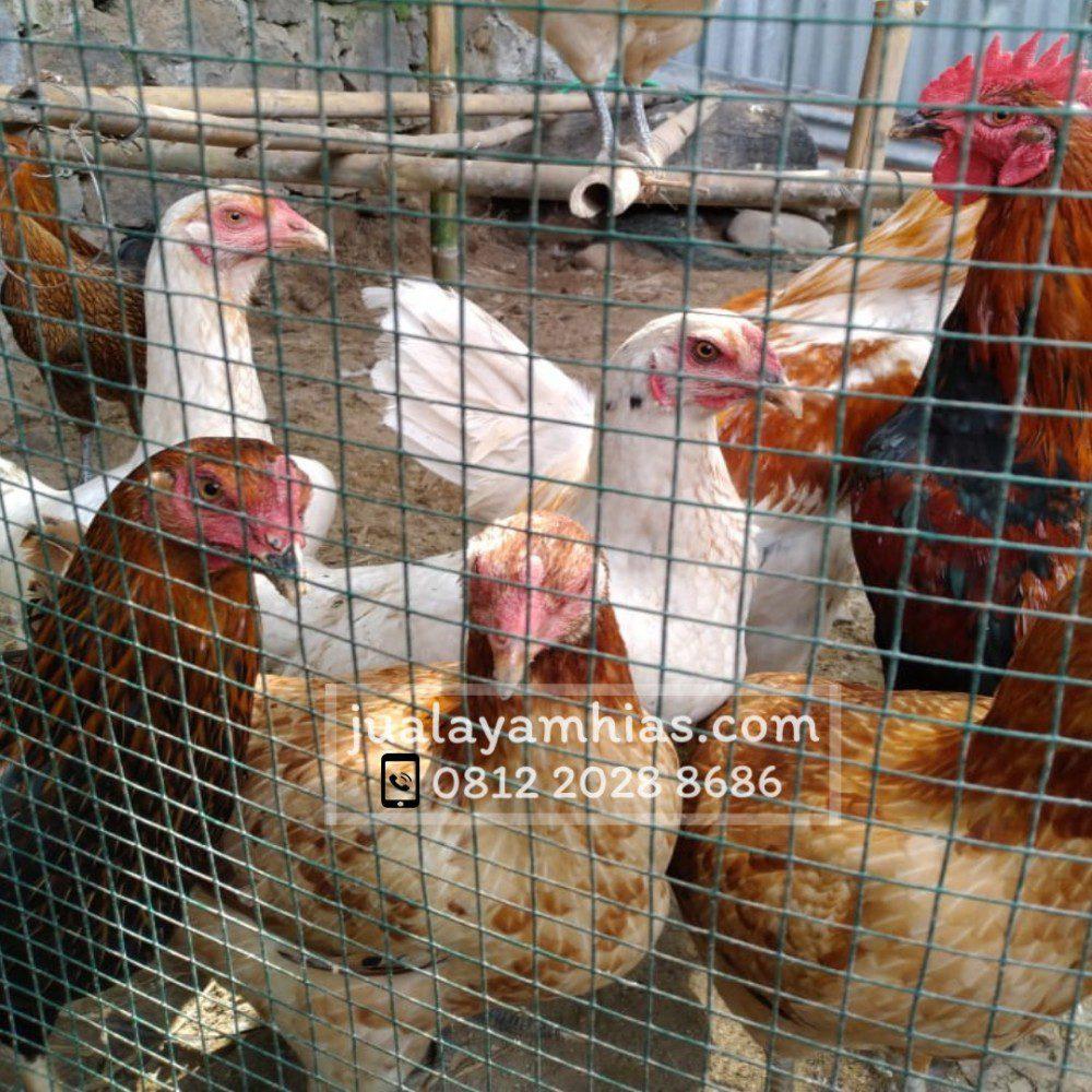 Melihat pertumbuhan ayam joper yang cepat besar merupakan sebuh kebahagian tersendiri bagi peternak.